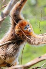 Preview iPhone wallpaper Golden monkey, tree, twigs, wildlife
