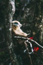 Preview iPhone wallpaper Golden monkey, tree, wildlife