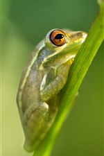 Preview iPhone wallpaper Green frog, plant stem
