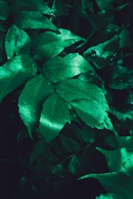 Preview iPhone wallpaper Green leaves, water droplets, darkness