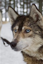 Husky dog, face, eyes, winter, snow