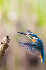 Kingfisher, flight, wings, wood stick