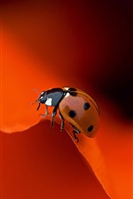 Preview iPhone wallpaper Ladybug, red rose petals