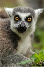 Preview iPhone wallpaper Lemur cub, yellow eyes