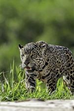 미리보기 iPhone 배경 화면 표범, 잔디, 야생 동물