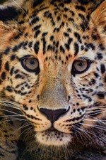 Leopard, wild cat, face, hazy
