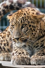 Leopardo, jardim zoológico
