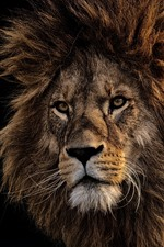 Preview iPhone wallpaper Lion, face, mane, black background