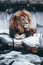 Lion, mane, rocks, wheel, zoo