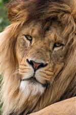 Lion rest, look back, mane
