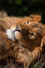 Preview iPhone wallpaper Lion rest, paws, mane