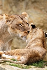 Lioness and lion cub
