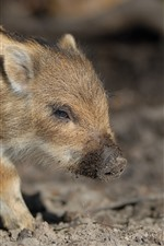 미리보기 iPhone 배경 화면 작은 돼지, 멧돼지