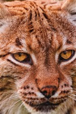 Lynx, head, eyes, face, front view