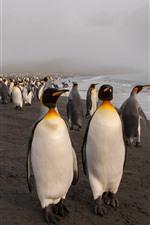 Muitos pinguins, mar, praia, nevoeiro