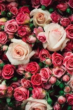 Many pink roses, flowers