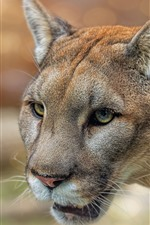 Preview iPhone wallpaper Mountain lion, puma, face, eyes, wildlife