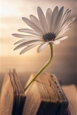 One daisy, book, hazy background