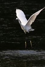 Preview iPhone wallpaper One egret walking in the water, open wings