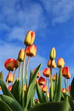 Orange tulips, blue sky