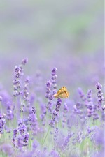 Pink lavender flowers, butterfly, hazy