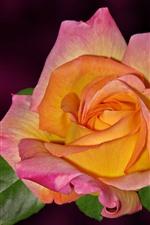 Preview iPhone wallpaper Pink orange petals, rose