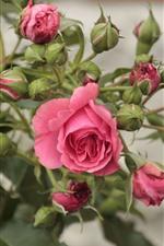 Rosa rosa, flores, botões, fundo nebuloso