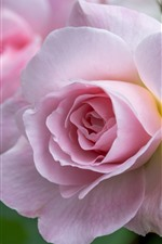 Preview iPhone wallpaper Pink rose macro photography, petals, flowers