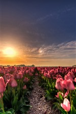 Preview iPhone wallpaper Pink tulips field, sunset