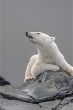 Preview iPhone wallpaper Polar bear, head, rock