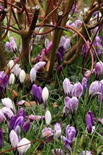 Preview iPhone wallpaper Purple and white crocuses
