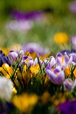 Preview iPhone wallpaper Purple and yellow crocuses, spring