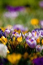 iPhone壁紙のプレビュー 紫と黄色のクロッカス、春