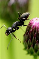 Preview iPhone wallpaper Purple flower bud, ant