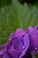 iPhone壁紙のプレビュー 紫のアジサイ、花びら、緑の葉