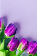 Purple tulips, flowers, light pink background
