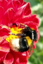 iPhone壁紙のプレビュー レッドダリア、蜂