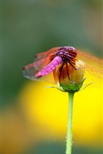 Preview iPhone wallpaper Red dragonfly, flower, insect