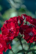 Red flowers, rosas, hazy