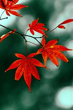 Preview iPhone wallpaper Red maple leaves, hazy, autumn