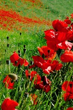 Preview iPhone wallpaper Red poppies, grass, summer