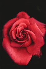 Preview iPhone wallpaper Red rose, petals close-up, hazy background