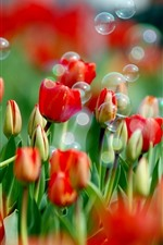 Preview iPhone wallpaper Red tulips and many bubbles