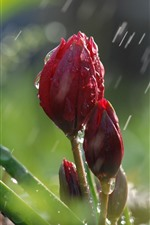 Preview iPhone wallpaper Red tulips in rain