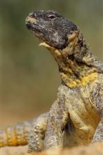 Reptile, lizard, wildlife