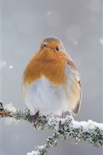 Robin, bird, snow, winter, tree branch