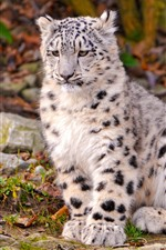 Preview iPhone wallpaper Snow leopard cub sit on ground