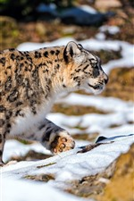 Preview iPhone wallpaper Snow leopard walking