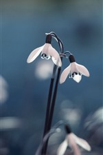 Preview iPhone wallpaper Snowdrop, flowers, hazy background
