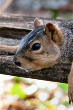 Preview iPhone wallpaper Squirrel rest, wood board